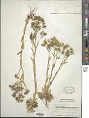 view Sabatia brachiata Elliott digital asset number 1