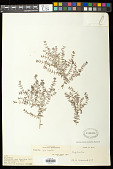 view Euphorbia laxa Drake digital asset number 1
