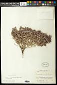 view Euphorbia acuta Engelm. in Emory digital asset number 1