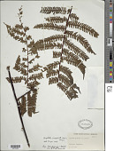 view Alsophila cuspidata (Kunze) D.S. Conant digital asset number 1