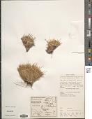 view Rytidosperma oreoboloides (F. Muell.) H.P. Linder digital asset number 1