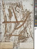 view Spodiopogon sibiricus Trin. digital asset number 1