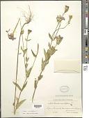 view Zinnia peruviana (L.) L. digital asset number 1