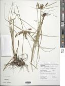 view Cyperus aggregatus (Willd.) Endl. digital asset number 1