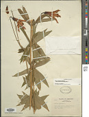 view Lilium canadense L. digital asset number 1
