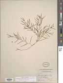 view Potamogeton foliosus Raf. digital asset number 1