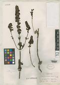 view Pedicularis kashmiriana Pennell digital asset number 1