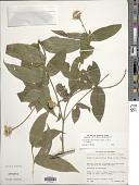 view Lasianthaea macrocephala (Hook. & Arn.) K.M. Becker digital asset number 1
