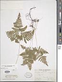view Gymnocarpium jessoense subsp. parvulum Sarvela digital asset number 1