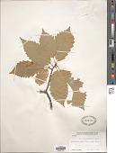 view Quercus muehlenbergii Engelm. digital asset number 1