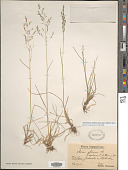 view Deschampsia cespitosa subsp. glauca (Hartm.) Hartm. digital asset number 1