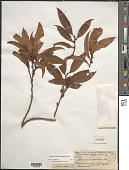 view Freziera undulata (Sw.) Willd. digital asset number 1