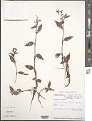 view Floscopa africana subsp. petrophila J.K. Morton digital asset number 1