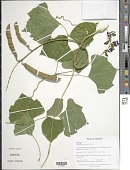 view Pachyrhizus erosus (L.) Urb. digital asset number 1