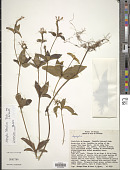 view Spigelia tetraptera Taub. digital asset number 1