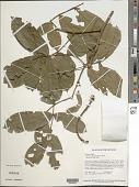 view Swartzia apiculata R.S. Cowan digital asset number 1