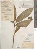 view Dracaena elliptica Thunb. digital asset number 1
