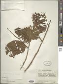 view Xylosma rubicunda (H. Karst.) Gilg digital asset number 1