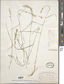 view Melica persica subsp. persica var. inaequiglumis (Boiss) W. Hempel digital asset number 1