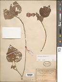 view Malvaviscus concinnus Kunth digital asset number 1