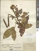 view Senna latifolia (G. Mey.) H.S. Irwin & Barneby digital asset number 1