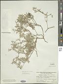 view Tiquilia plicata Torr. digital asset number 1
