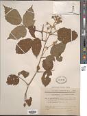 view Rubus serpens Weihe ex Lej. & Courtois digital asset number 1
