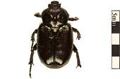 view Hermit Flower Beetle digital asset number 1