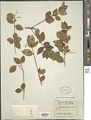 view Myrcia arimensis Britton digital asset number 1