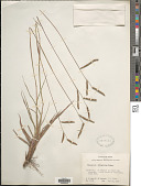 view Paspalum plicatulum Michx. digital asset number 1