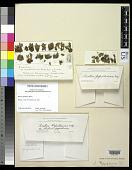 view Biatora papillariae Willey digital asset number 1
