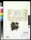view Cladonia destricta f. scyphosula Sandst. ex Anders digital asset number 1