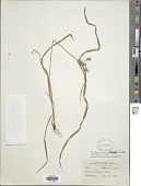 view Cyperus panamensis (C.B. Clarke) Britton ex Standl. digital asset number 1
