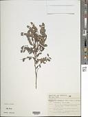 view Chamaecrista carthartica (Mart.) H.S. Irwin & Barneby digital asset number 1