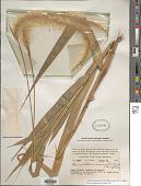 view Cenchrus henryanus (F. Br.) M. Tornabene & W.L. Wagner digital asset number 1