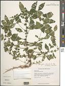 view Acalypha rhomboidea Raf. digital asset number 1