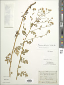 view Tanacetum parthenium (L.) Sch. Bip. digital asset number 1