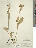 view Oreochrysum parryi (A. Gray) Rydb. digital asset number 1