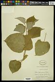 view Croton guatemalensis Lotsy digital asset number 1
