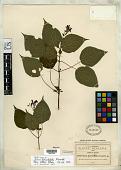 view Salvia flaccidifolia Fernald digital asset number 1