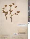 view Phoradendron tomentosum DC. subsp. tomentosum digital asset number 1