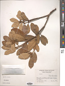 view Quercus sp. digital asset number 1