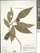 view Miconia sp. digital asset number 1
