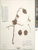 view Copaifera officinalis L. digital asset number 1