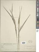 view Rhynchospora panicoides Schrad. ex Nees digital asset number 1