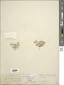 view Stylocline psilocarphoides M.E. Peck digital asset number 1