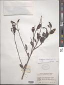 view Dendropemon purpureus (L.) Krug & Urb. digital asset number 1