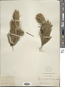 view Pinus contorta var. murrayana (Balf.) S. Watson digital asset number 1