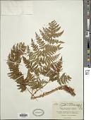 view Dryopteris expansa (C. Presl) Fraser-Jenk. & Jermy digital asset number 1