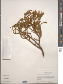 view Phoradendron minutifolium Urb. digital asset number 1
